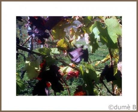vignes et vignobles
