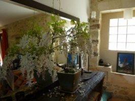 bonsaï de glycine blanche