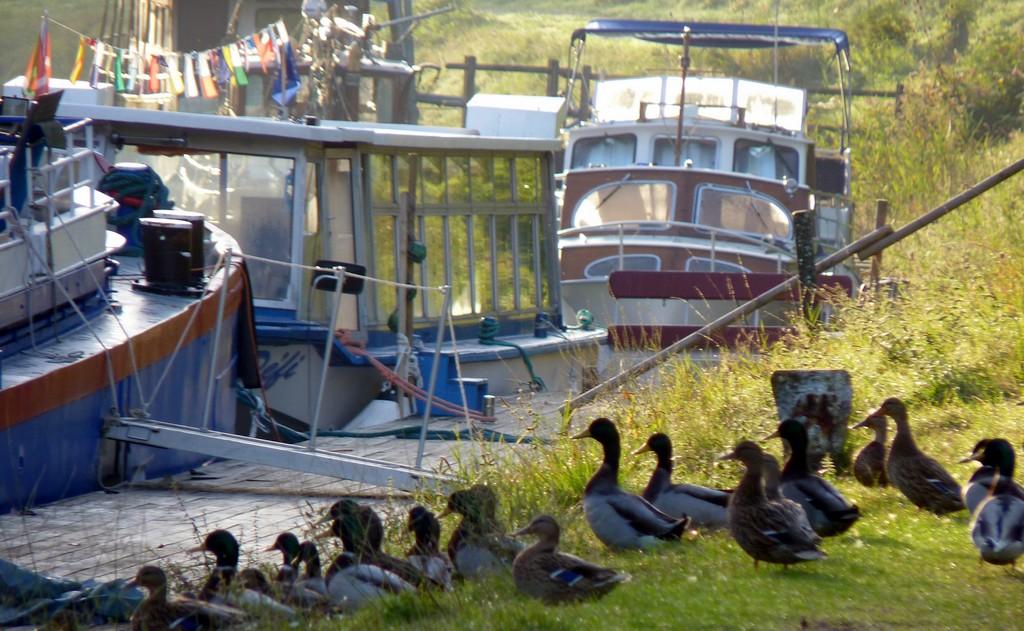 canards sur le canal du midi