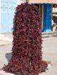 Piments niora